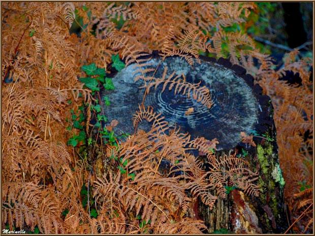 Méli mélo forestier : souche de pin, fougères automnales, mousse et lierre, forêt sur le Bassin d'Arcachon (33)