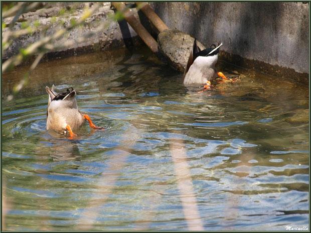 Canards en piquet plongée au fil de l'eau d'un ruisseau à la Pisciculture des Sources à Laruns, Vallée d'Ossau (64)