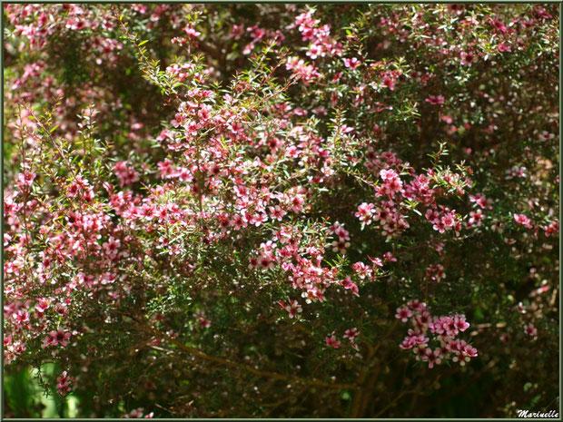 Les Terrasses : Leptospermum scoparium ou Arbre à Thé Myrte de Nouvelle-Zélande - Les Jardins du Kerdalo à Trédarzec, Côtes d'Armor (22)