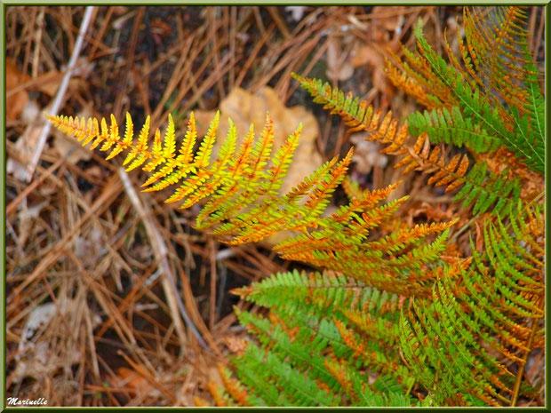 Fougère automnale sur fond d'aiguilles de pin, en forêt sur le Bassin d'Arcachon (33)