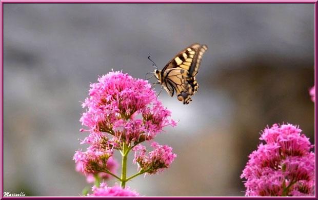 Papillon Machaon butinant sur fleur de Valériane