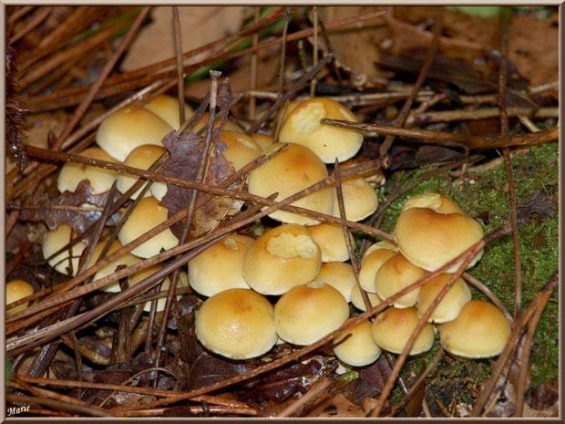 Hypholomes en Touffe cachés sous des aiguilles de pin en forêt sur le Bassin d'Arcachon