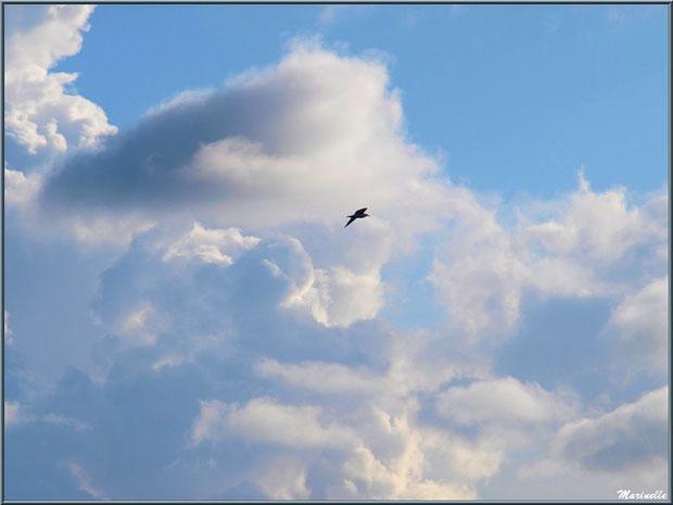 Cormoran parmi les nuages au-dessus du Sentier du Littoral, secteur Moulin de Cantarrane, Bassin d'Arcachon