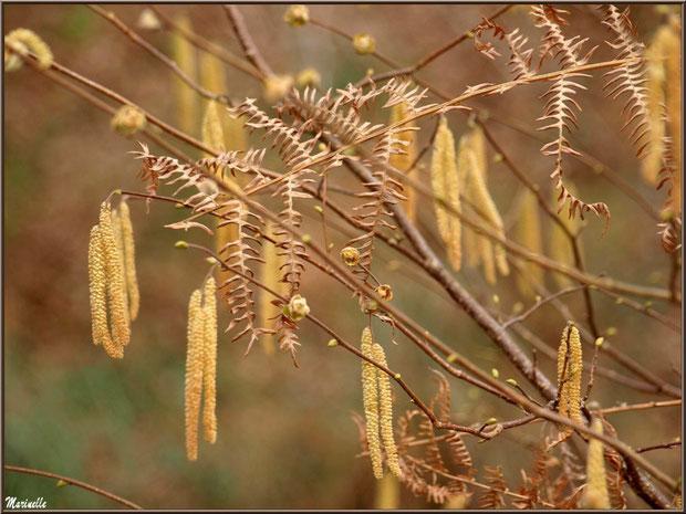 Aulne hivernal ses grappes et premiers bourgeons parmi la fougère au Parc de la Chêneraie à Gujan-Mestras (Bassin d'Arcachon)