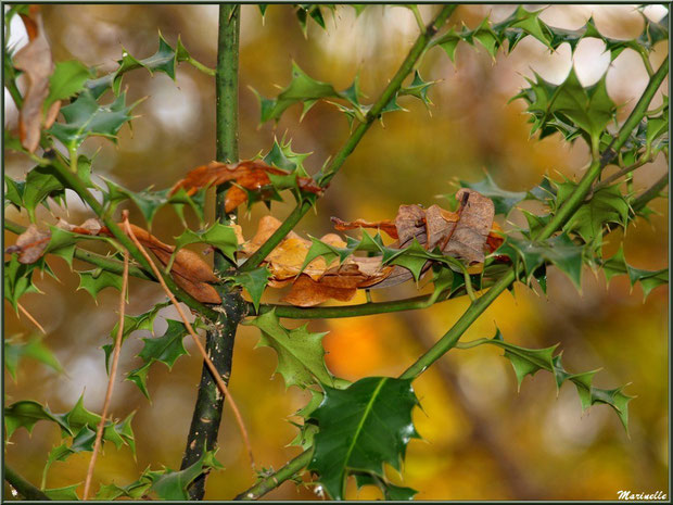 Feuilles de chêne, aiguilles de pin et houx en tenue automnale, forêt sur le Bassin d'Arcachon (33)