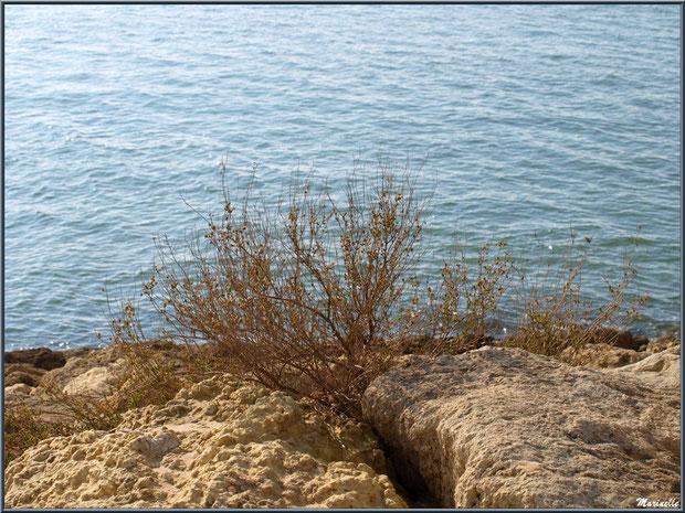 Arbuste au creux des pierres de la jetée de La Corniche à Pyla-sur-Mer, Bassin d'Arcachon (33)