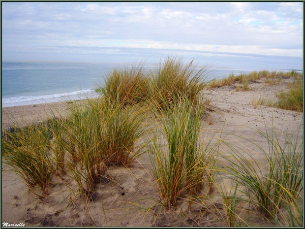 """Oyats sur une dunette, en bordure de la plage océane du """"Petit Nice"""", flore Bassin d'Arcachon (33)"""
