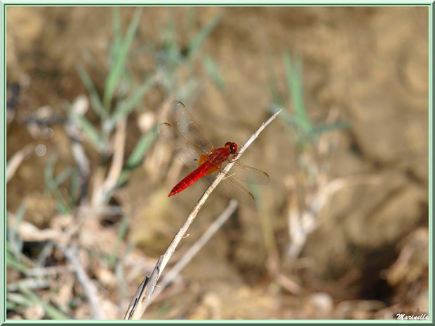 Libellule rouge au Lac de Peiroou à Saint Rémy de Provence dans les Alpilles (13)