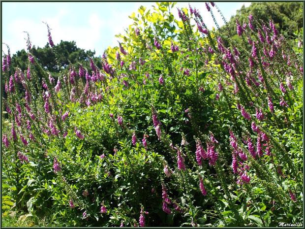 Le sentier de la Vallée du Bas et Digitalis purpurea (Digitales pourpre) en fleurs - Les Jardins du Kerdalo à Trédarzec, Côtes d'Armor (22)