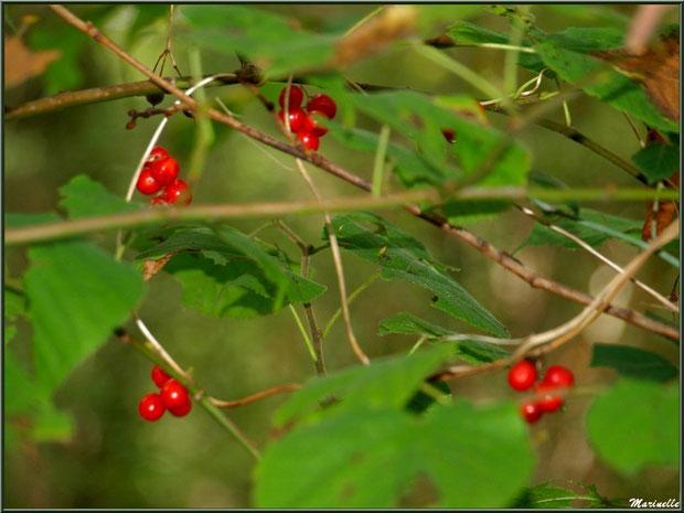 """Baies de tamier ou """"raspounchou"""" ou Herbe aux femmes battues, flore sur le Bassin d'Arcachon (33)"""