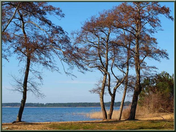 Le Lac de Sanguinet, aulmes, roseaux et pins en bordure de rive, Landes