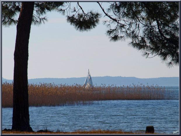 Le Lac de Sanguinet, pin en bord de rive et voilier derrière les roseaux, Landes