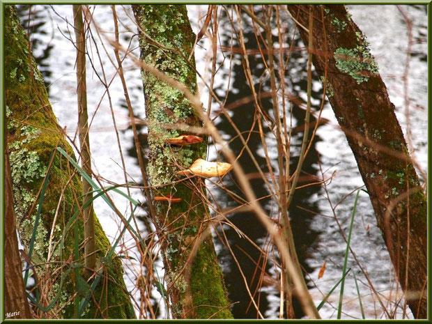 Amadouviers des Pins ou Polypores Marginés, pins et reflets sur le Canal des Landes au Parc de la Chêneraie à Gujan-Mestras (Bassin d'Arcachon)