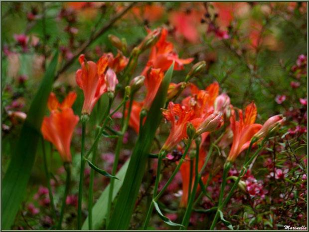 Les Terrasses : Alstroemeria en fleurs parmi un Leptospermum scoparium (ou Arbre à Thé ou Myrte de Nouvelle-Zélande) aux petites fleurs roses - Les Jardins du Kerdalo à Trédarzec, Côtes d'Armor (22)