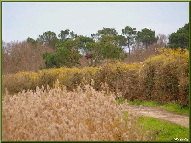 Le sentier au coeur de la végétation (on peut distinguer un nid de cicogne dans un pin), Sentier du Littoral, secteur Port du Teich en longeant La Leyre, Le Teich, Bassin d'Arcachon (33)