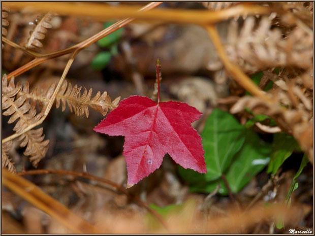 Feuilles de chêne, lierre et fougère en automne, forêt sur le Bassin d'Arcachon (33)