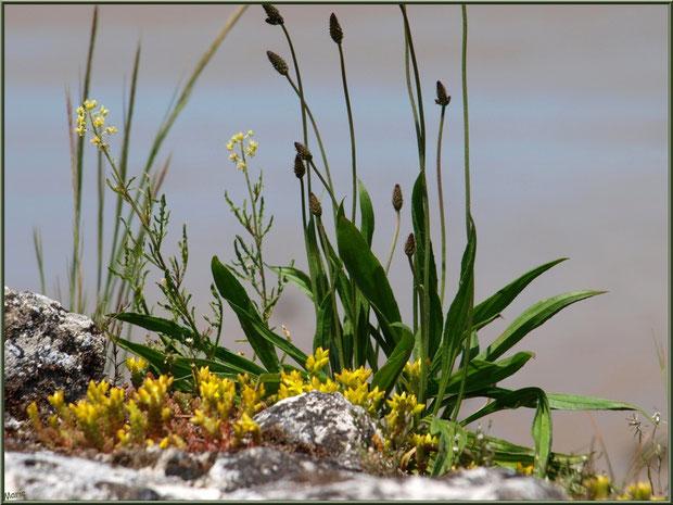 Fleurettes dans les pierres des fortifications à Talmont-sur-Gironde (Charente-Maritime)