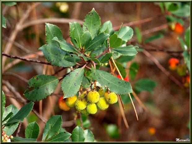 Arbousier et ses fruits en cours de mûrissement, flore sur le Bassin d'Arcachon (33)
