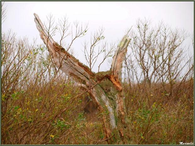 Arbre mort parmi les cotonniers en bordure du Sentier du Littoral, secteur Moulin de Cantarrane, Bassin d'Arcachon