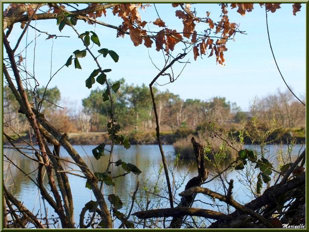 Chêne, roncier et cotonnier en bourgeons en bordure d'un réservoir, Sentier du Littoral, secteur Port du Teich en longeant La Leyre, Le Teich, Bassin d'Arcachon (33)