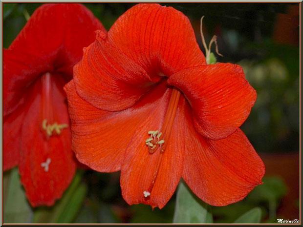 Amarilys rouge