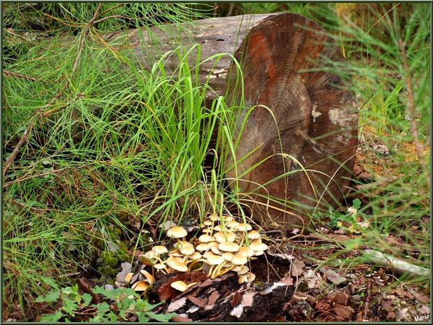 Hypholomes en Touffe vieillissants et leurs petits locataires en forêt sur le Bassin d'Arcachon