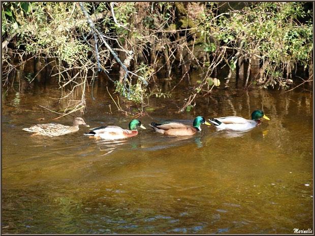 Canards à la queue leu leu au fil du Canal des Landes au Parc de la Chêneraie à Gujan-Mestras (Bassin d'Arcachon)