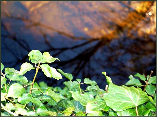 Lierre et reflets sur le Canal des Landes au Parc de la Chêneraie à Gujan-Mestras (Bassin d'Arcachon)