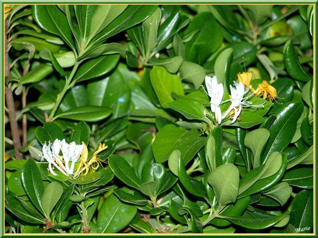 Chèvrefeuille en fleurs à Saint Rémy de Provence, Alpilles (13)