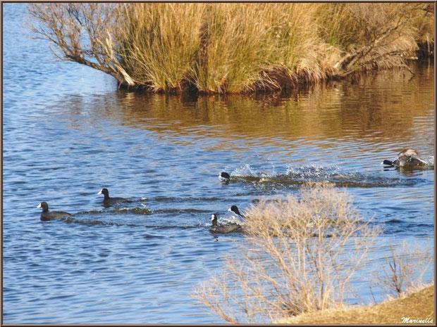 Foulques en baignade familiale dans un réservoir, Sentier du Littoral, secteur Domaine de Certes et Graveyron, Bassin d'Arcachon (33)