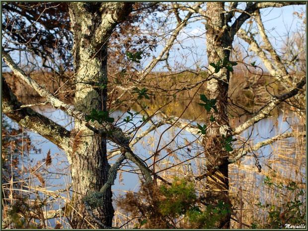 Végétation en bordure d'un réservoir, Sentier du Littoral, secteur Port du Teich en longeant La Leyre, Le Teich, Bassin d'Arcachon (33)