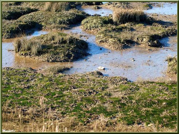 Végétation au sol dans les marécages côté Bassin sur le Sentier du Littoral, secteur Moulin de Cantarrane, Bassin d'Arcachon