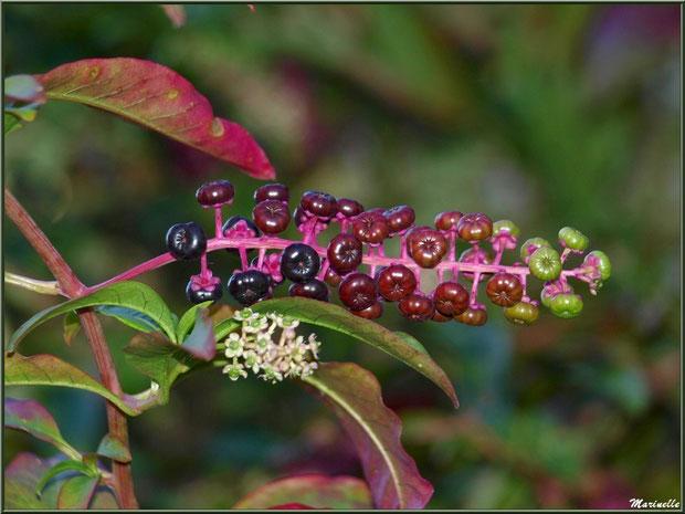 Teinturier ou Raisin d'Amérique ou Encrier, flore sur le Bassin d'Arcachon (33) : fleurs et fruits