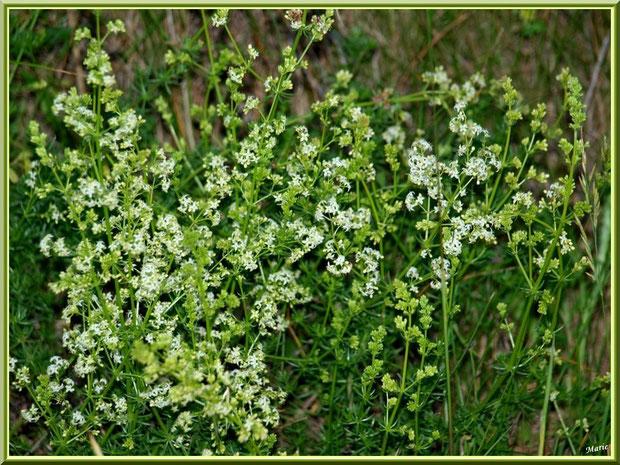 Fleurettes blanches en campagne à Saint Rémy de Provence, Alpilles (13)