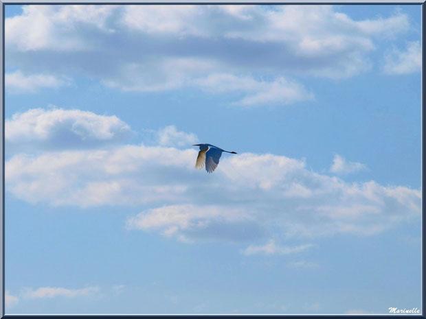 Cygne en vol au-dessus du Sentier du Littoral, secteur Moulin de Cantarrane, Bassin d'Arcachon