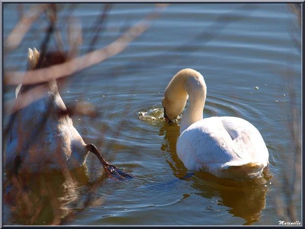 Couple de cygnes en festin dont un en plongée dans un réservoir sur le Sentier du Littoral, secteur Moulin de Cantarrane, Bassin d'Arcachon