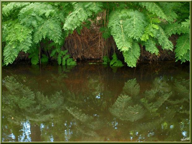 Fougères et leurs reflets dans le Canal des Landes au Parc de la Chêneraie à Gujan-Mestras (Bassin d'Arcachon)