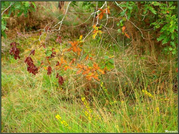 Méli mélo forestier : herbacées, ajoncs et chênes aux couleurs automnales, forêt sur le Bassin d'Arcachon (33)