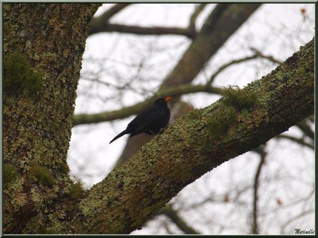 Merle dans un chêne au Parc de la Chêneraie à Gujan-Mestras (Bassin d'Arcachon)