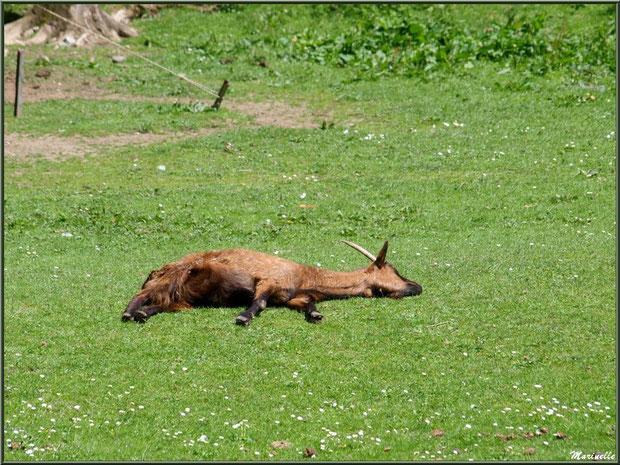 C'est dur la vie de chèvre à la Pisciculture des Sources !!!! Laruns, Vallée d'Ossau (64)
