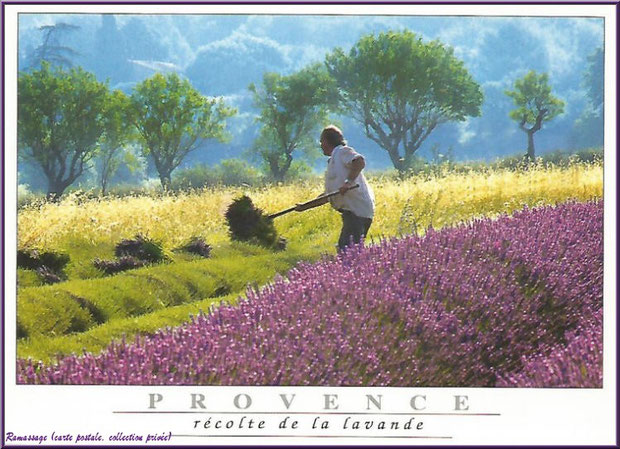 Ramassage de la lavande (carte postale, collection privée)