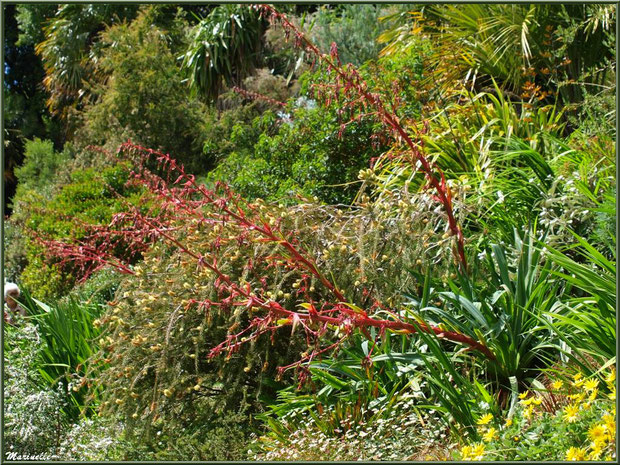 Les Terrasses et ses Beschorneria yuccoïdes (grandes tiges et fleurs rouges) - Les Jardins du Kerdalo à Trédarzec, Côtes d'Armor (22)