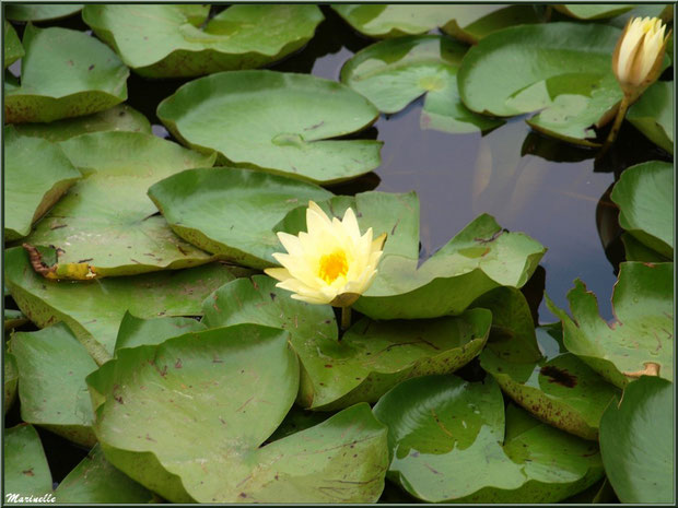 Duo de Nénuphars jaunes sur un plan d'eau