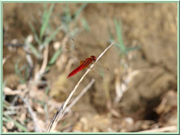 Libellule rouge sur une brindille en bordure du lac de Peiroou à Saint Rémy de Provence, Alpilles (13)