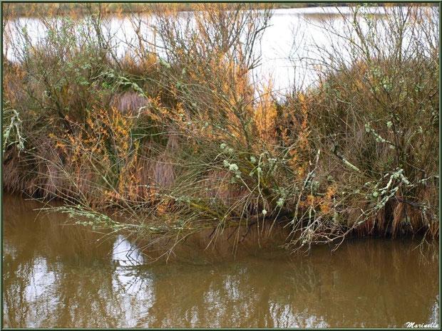 Végétation hivernale dans un réservoir, Sentier du Littoral, secteur Moulin de Cantarrane, Bassin d'Arcachon