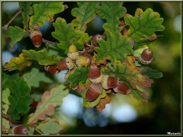 Glands de Chêne Pédonculé en famille, flore Bassin d'Arcachon (33)