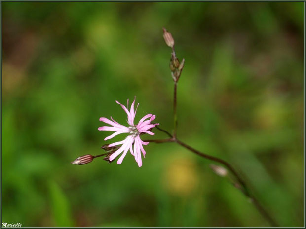 Lychnis Fleur de Coucou ou Œillet des Prés, flore sur le Bassin d'Arcachon (33)