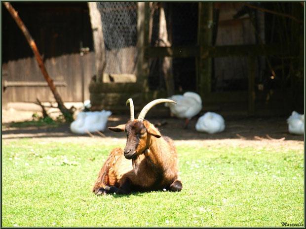 Chèvre au soleil et ses amies les oies à la Pisciculture des Sources à Laruns, Vallée d'Ossau (64)