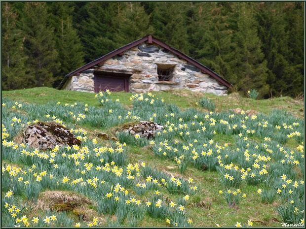 """""""champ"""" de jonquilles au pied d'une bergerie dans un alpage sur les hauteurs de Gourette (Pyrénées, 64)"""