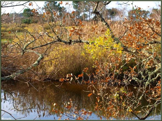 Végétation hivernale en bordure d'un réservoir, Sentier du Littoral, secteur Port du Teich en longeant La Leyre, Le Teich, Bassin d'Arcachon (33)